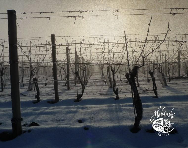 Vinice v zimě