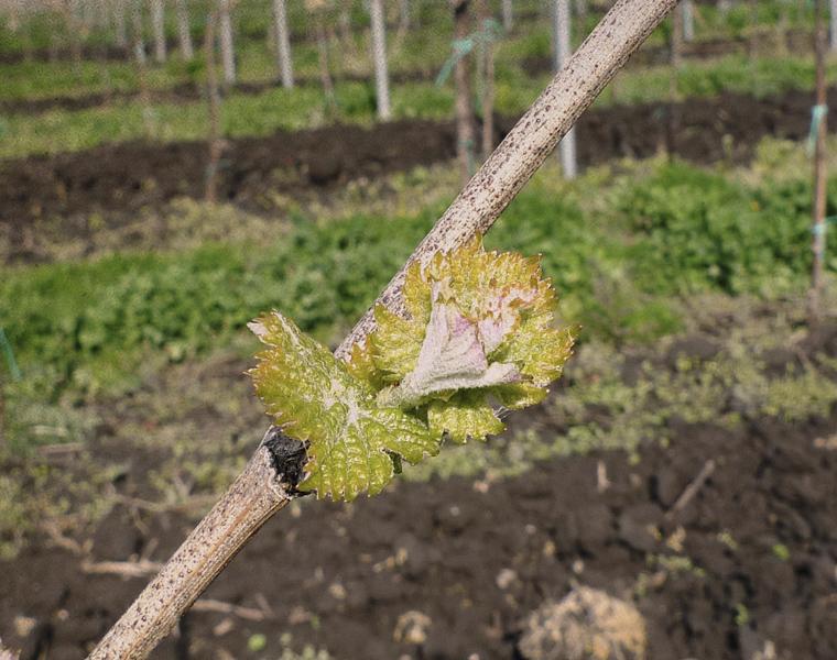 Jarní vinice