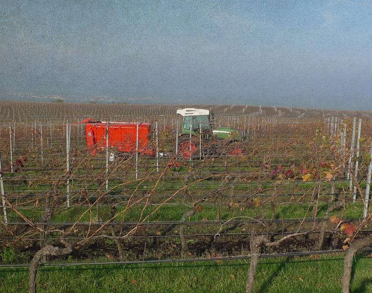 Práce na vinohradu