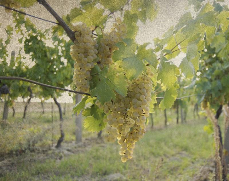Vinohrad - říjen